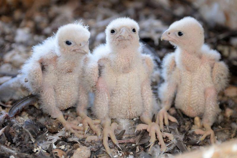 crias de halcon