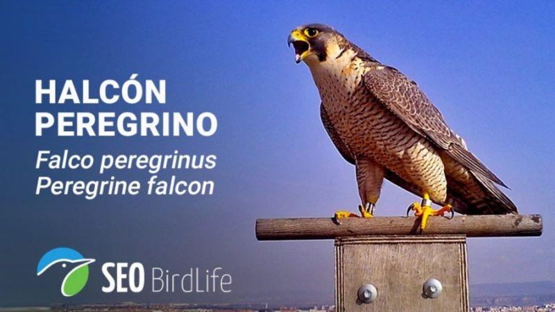 Webcam del nido de halcón peregrino ubicado en Torre de la Garena